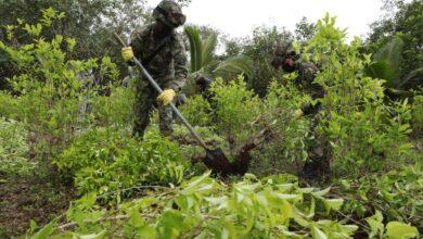 Cultivos coca
